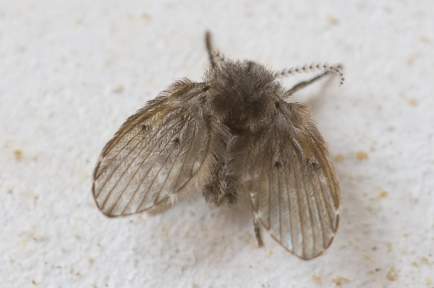 Rioollucht In Keuken : Last van rioolvliegjes? of rioolvliegen en rioolstank in de